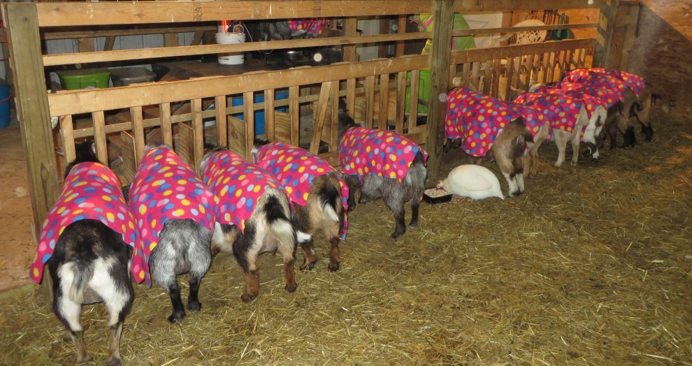 Coats for the goats.